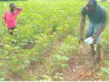 KOUTIALA : Les cotonculteurs désavouent les deux camps qui réclament la présidence de la C-SCPC